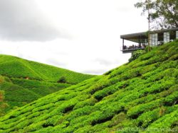 BOH Sungai čajová plantáž
