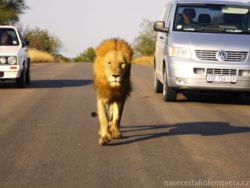 Lev v Krugerove Narodnim Parku