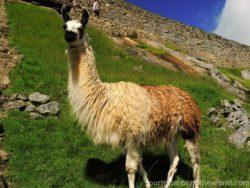 Lama na Mahu Picchu