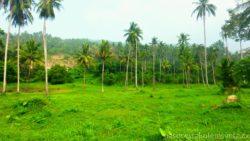 Palmový háj Ko Samui